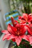 Όμορφα κόκκινα λουλούδια στον κήπο μπαλκονιών Στοκ εικόνα με δικαίωμα ελεύθερης χρήσης