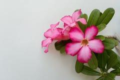 Όμορφα κόκκινα λουλούδια Adenium Στοκ Φωτογραφίες