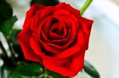 Όμορφα κόκκινα τριαντάφυλλα για την αγάπη μου Στοκ Φωτογραφία