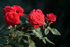 Όμορφα κόκκινα τριαντάφυλλα στον κήπο Σύμβολο της εμπαθούς αγάπης Λουλούδι Στοκ εικόνες με δικαίωμα ελεύθερης χρήσης