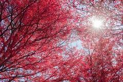 Όμορφα κόκκινα φύλλα στο φως δέντρων και ήλιων Στοκ φωτογραφίες με δικαίωμα ελεύθερης χρήσης