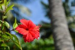 Όμορφα κόκκινα Hibiscus λουλούδια Στοκ Εικόνα