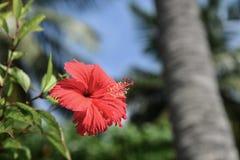 Όμορφα κόκκινα Hibiscus λουλούδια Στοκ φωτογραφίες με δικαίωμα ελεύθερης χρήσης
