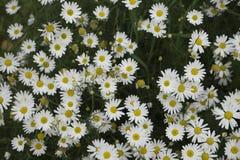 Όμορφα κύματα υποβάθρου μαργαριτών λουλουδιών και Στοκ φωτογραφία με δικαίωμα ελεύθερης χρήσης