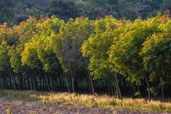 Όμορφα λαστιχένια δέντρα Στοκ Εικόνες