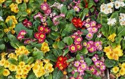 Όμορφα λουλούδια άνοιξη για την πώληση στην αγορά οδών Στοκ Φωτογραφίες
