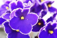 Όμορφα λουλούδια βιολέτων, υπόβαθρο Στοκ Εικόνα