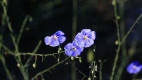 όμορφα λουλούδια λιναριού απόθεμα βίντεο