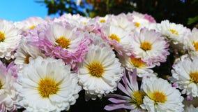 Όμορφα λουλούδια μαργαριτών στην ομάδα Στοκ Φωτογραφία