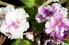Όμορφα λουλούδια στον εγχώριο φωτισμό Πράσινα φύλλα βελούδου στοκ εικόνα