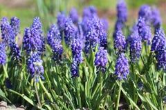 Όμορφα λουλούδια στον κήπο Muscari στοκ εικόνα