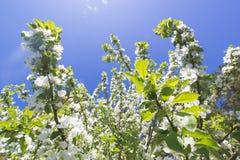 Όμορφα λουλούδια στο ανθίζοντας δέντρο της Apple στο φως του ήλιου Στοκ Εικόνα