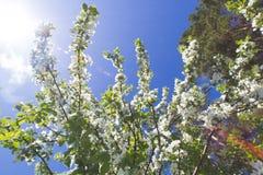 Όμορφα λουλούδια στο ανθίζοντας δέντρο της Apple στο φως του ήλιου Στοκ φωτογραφία με δικαίωμα ελεύθερης χρήσης