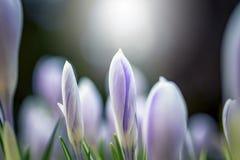 Όμορφα λουλούδια στο ενάντιο φως Νέα λουλούδια άνοιξη με τους κλειστούς λεπτούς οφθαλμούς στοκ εικόνα με δικαίωμα ελεύθερης χρήσης