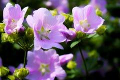 όμορφα λουλούδια στο ρόδινο φως του ήλιου χρώματος κήπων Στοκ Εικόνες