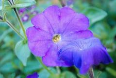 Όμορφα λουλούδια της πορφυρής πετούνιας στοκ εικόνες με δικαίωμα ελεύθερης χρήσης