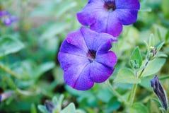 Όμορφα λουλούδια της πορφυρής πετούνιας στοκ φωτογραφία