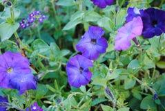 Όμορφα λουλούδια της πορφυρής πετούνιας στοκ φωτογραφίες