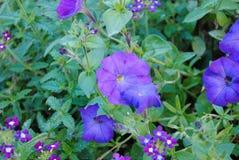 Όμορφα λουλούδια της πορφυρής πετούνιας στοκ εικόνες