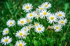 Όμορφα λουλούδια της Daisy στην πράσινα χλόη & x28 Bellis Perennis& x29  στοκ φωτογραφίες