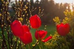 Όμορφα λουλούδια τουλιπών με το φως του ήλιου γύρω Στοκ εικόνες με δικαίωμα ελεύθερης χρήσης