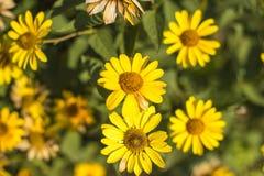 Όμορφα λουλούδια του κίτρινου χρώματος ενάντια στο φωτεινό φύλλωμα Στοκ φωτογραφία με δικαίωμα ελεύθερης χρήσης