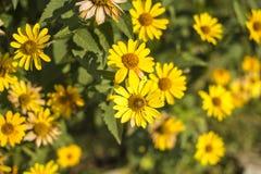 Όμορφα λουλούδια του κίτρινου χρώματος ενάντια στο φωτεινό φύλλωμα Στοκ φωτογραφίες με δικαίωμα ελεύθερης χρήσης
