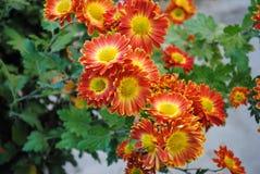 Όμορφα λουλούδια του κόκκινου χρυσάνθεμου στοκ φωτογραφία με δικαίωμα ελεύθερης χρήσης