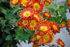 Όμορφα λουλούδια του κόκκινου χρυσάνθεμου στοκ εικόνες