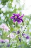 Όμορφα λουλούδια aquilegia Στοκ φωτογραφίες με δικαίωμα ελεύθερης χρήσης