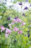Όμορφα λουλούδια aquilegia Στοκ Εικόνες