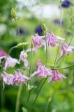 Όμορφα λουλούδια aquilegia Στοκ εικόνες με δικαίωμα ελεύθερης χρήσης