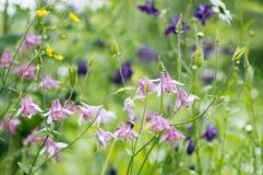 Όμορφα λουλούδια aquilegia Στοκ Φωτογραφία