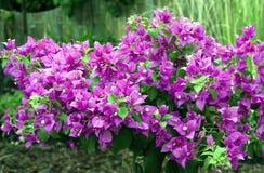 όμορφα λουλούδια bougainvillea Στοκ Εικόνα