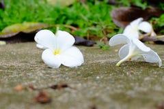 Όμορφα λουλούδια Frangipani στο πάτωμα, λουλούδια Plumeria Alba Στοκ Εικόνες