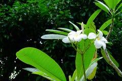 Όμορφα λουλούδια Frangipani, λουλούδια Plumeria Alba Στοκ Φωτογραφία