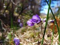 Όμορφα λουλούδια Hepatica Στοκ Φωτογραφία