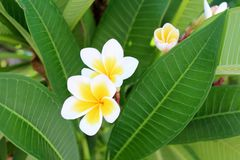 Όμορφα λουλούδια plumeria Στοκ Εικόνα