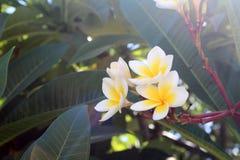 Όμορφα λουλούδια plumeria Στοκ εικόνα με δικαίωμα ελεύθερης χρήσης
