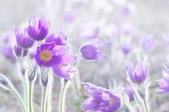 Όμορφα λουλούδια Pulsatilla Στοκ φωτογραφίες με δικαίωμα ελεύθερης χρήσης