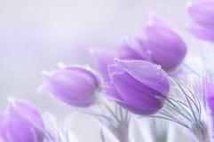 Όμορφα λουλούδια Pulsatilla Στοκ Εικόνα