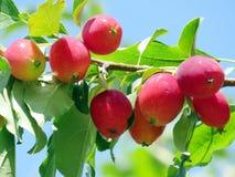 Όμορφα μήλα 2016 Thornhill Στοκ εικόνα με δικαίωμα ελεύθερης χρήσης