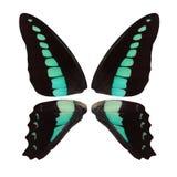 Όμορφα μαύρα φτερά πεταλούδων με τα τυρκουάζ σημεία που απομονώνονται στο άσπρο υπόβαθρο Στοκ Εικόνα