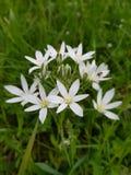 Όμορφα μικρά άσπρα λουλούδια με μια μέλισσα στοκ φωτογραφίες με δικαίωμα ελεύθερης χρήσης