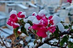 Όμορφα μικρά ρόδινα λουλούδια κάτω από το χιόνι στοκ φωτογραφία