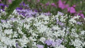 Όμορφα μικροσκοπικά λουλούδια ανοίξεων φιλμ μικρού μήκους
