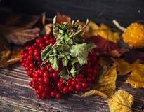 Όμορφα μούρα Viburnum το φθινόπωρο Στοκ Εικόνα