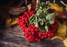 Όμορφα μούρα Viburnum το φθινόπωρο Στοκ Φωτογραφία