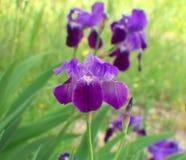 Όμορφα μπλε-ιώδη λουλούδια της Iris σε έναν κήπο στοκ εικόνες