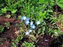 Όμορφα μπλε και άσπρα λουλούδια στο πράσινο στοκ εικόνα